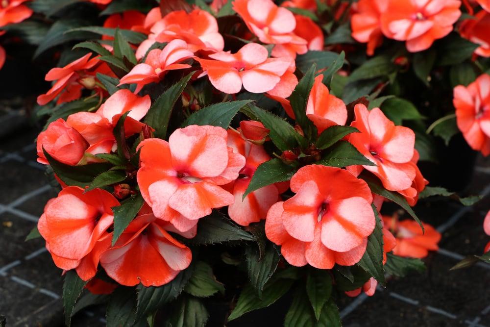 Balkonpflanzen Begonie Blüten