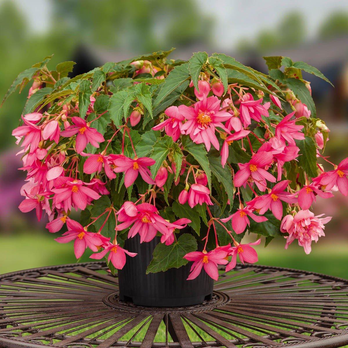 Begonie rosa Blüten Blumentopf