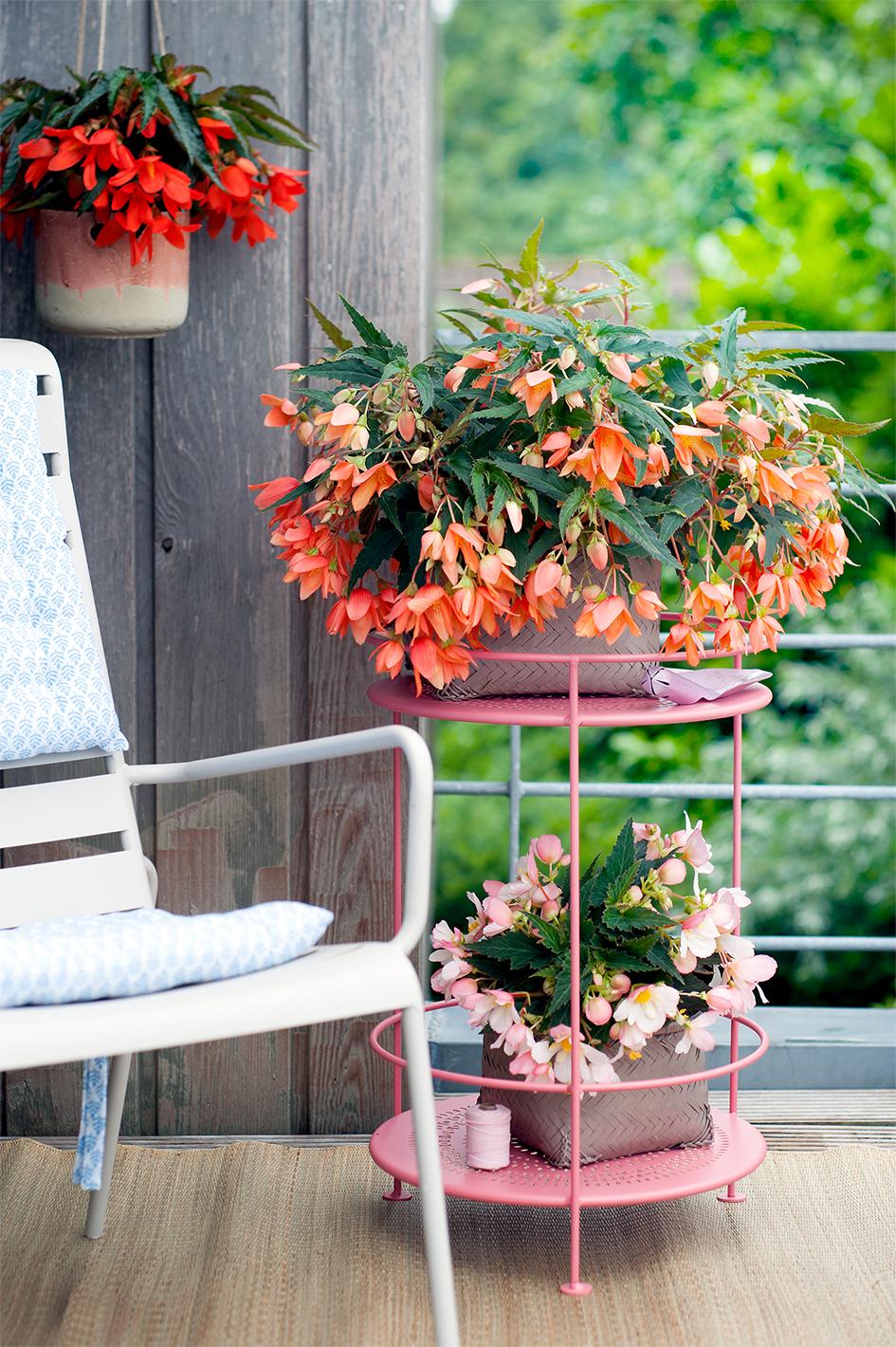 Begonien Blumentöpfe herrlicher Look