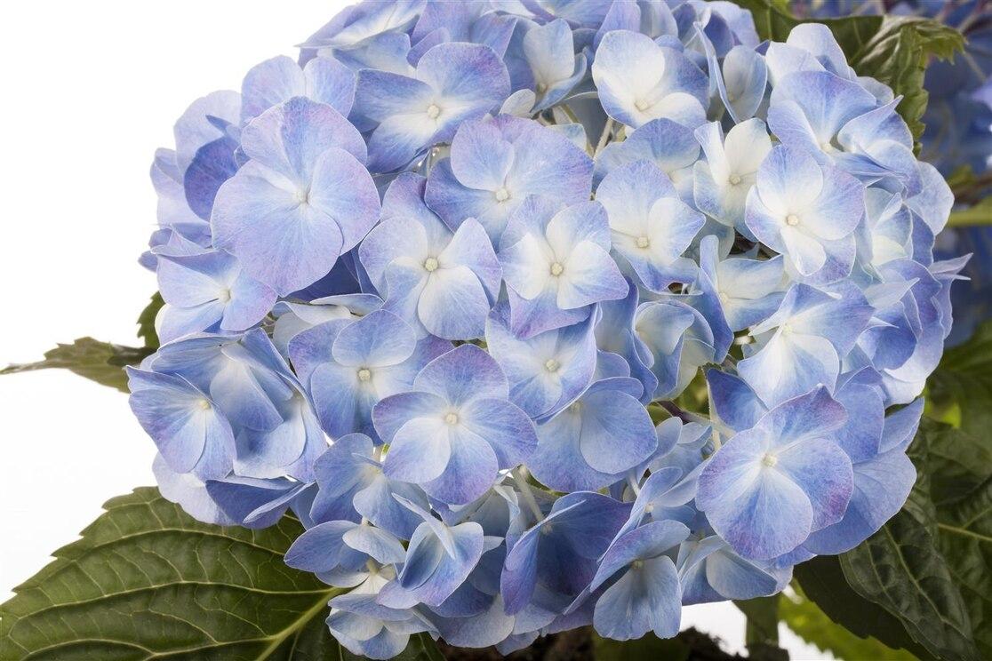 Hortensie blaue Blüten
