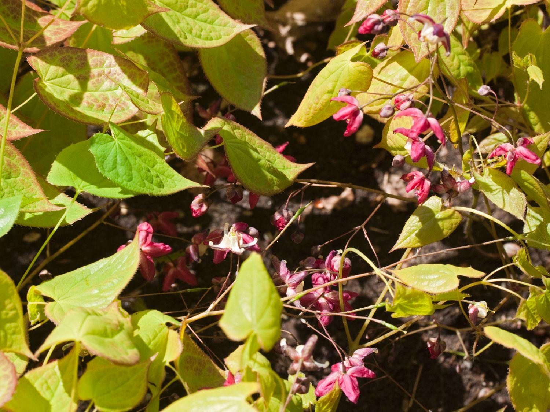 Bodendecker Schatten Elfenblume Galadriel