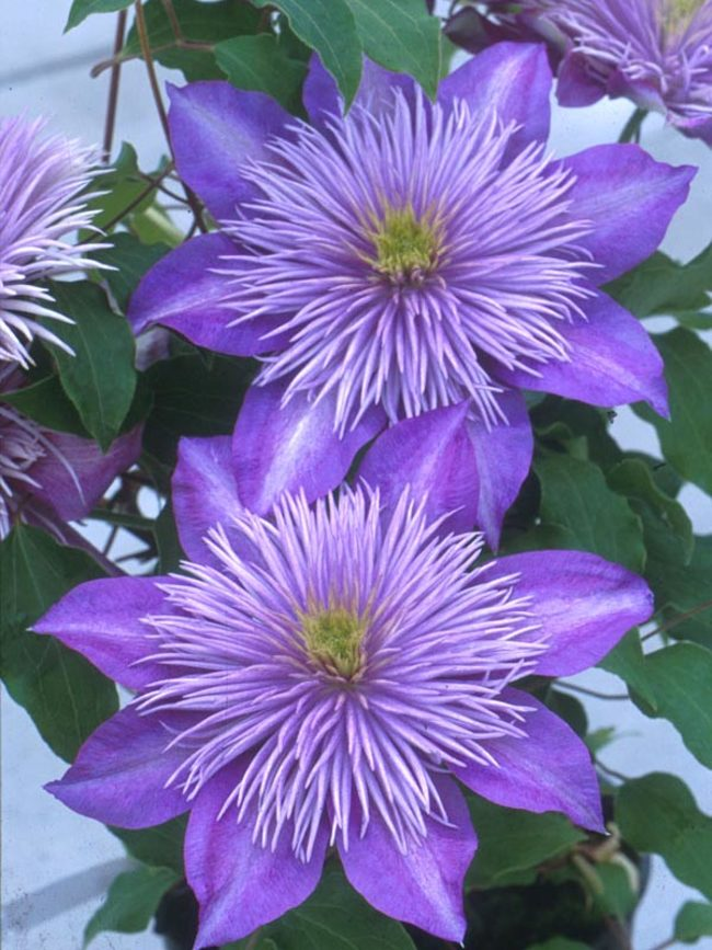 Clematis Blüten blau