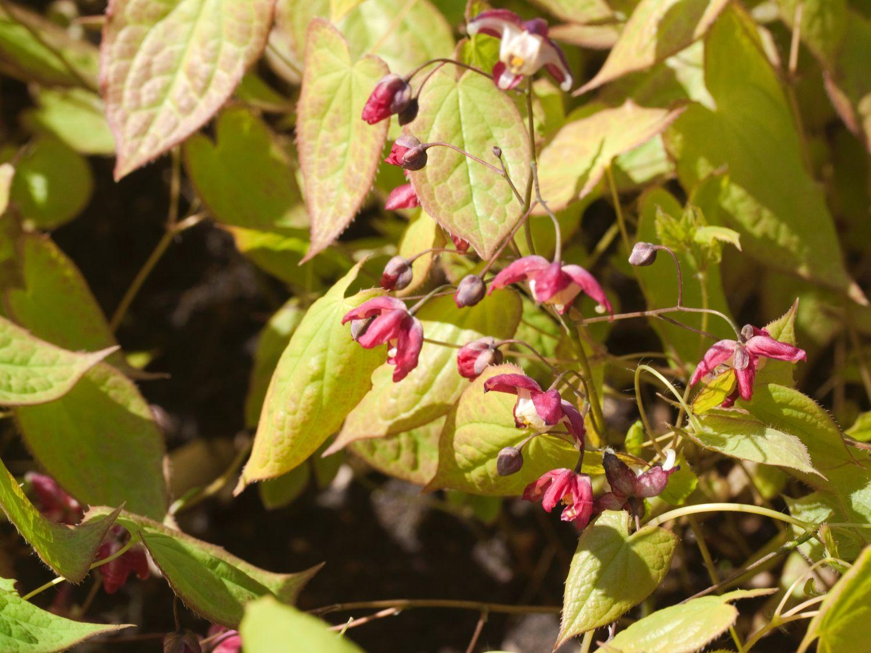 Elfenblume als Bodendecker pflanzen