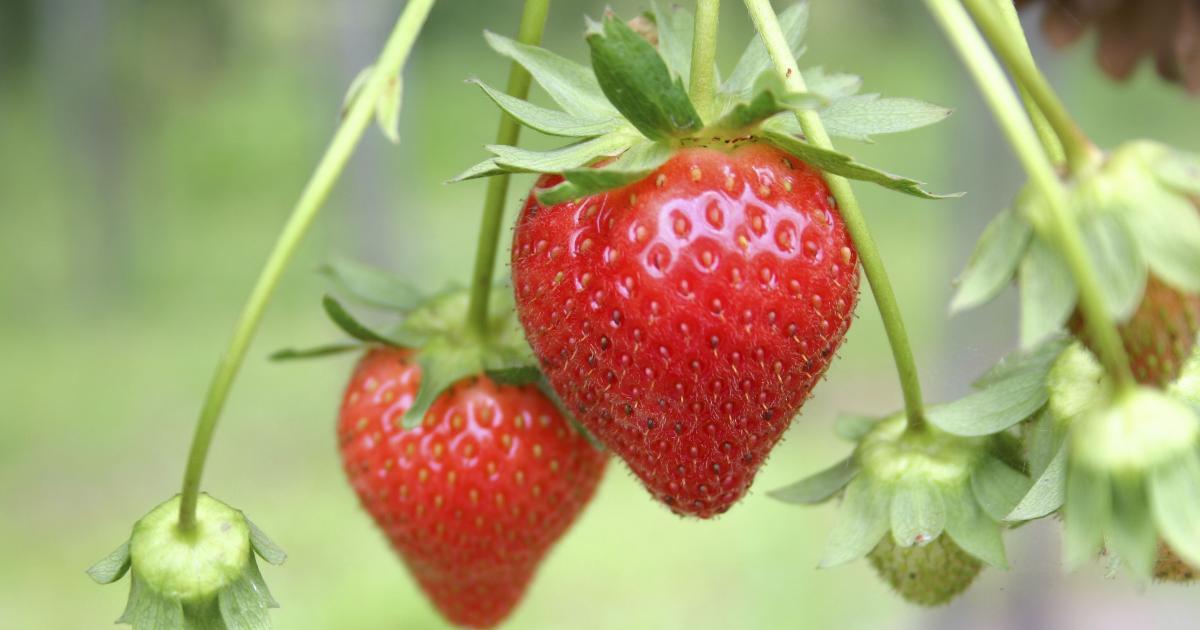 Balkonpflanzen Erdbeeren anbauen