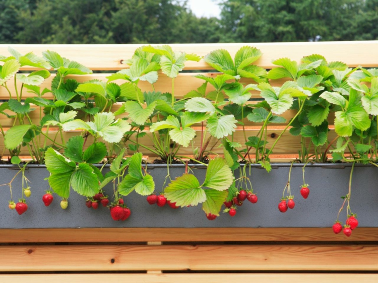 Erdbeeren anbauen Blumentöpfe