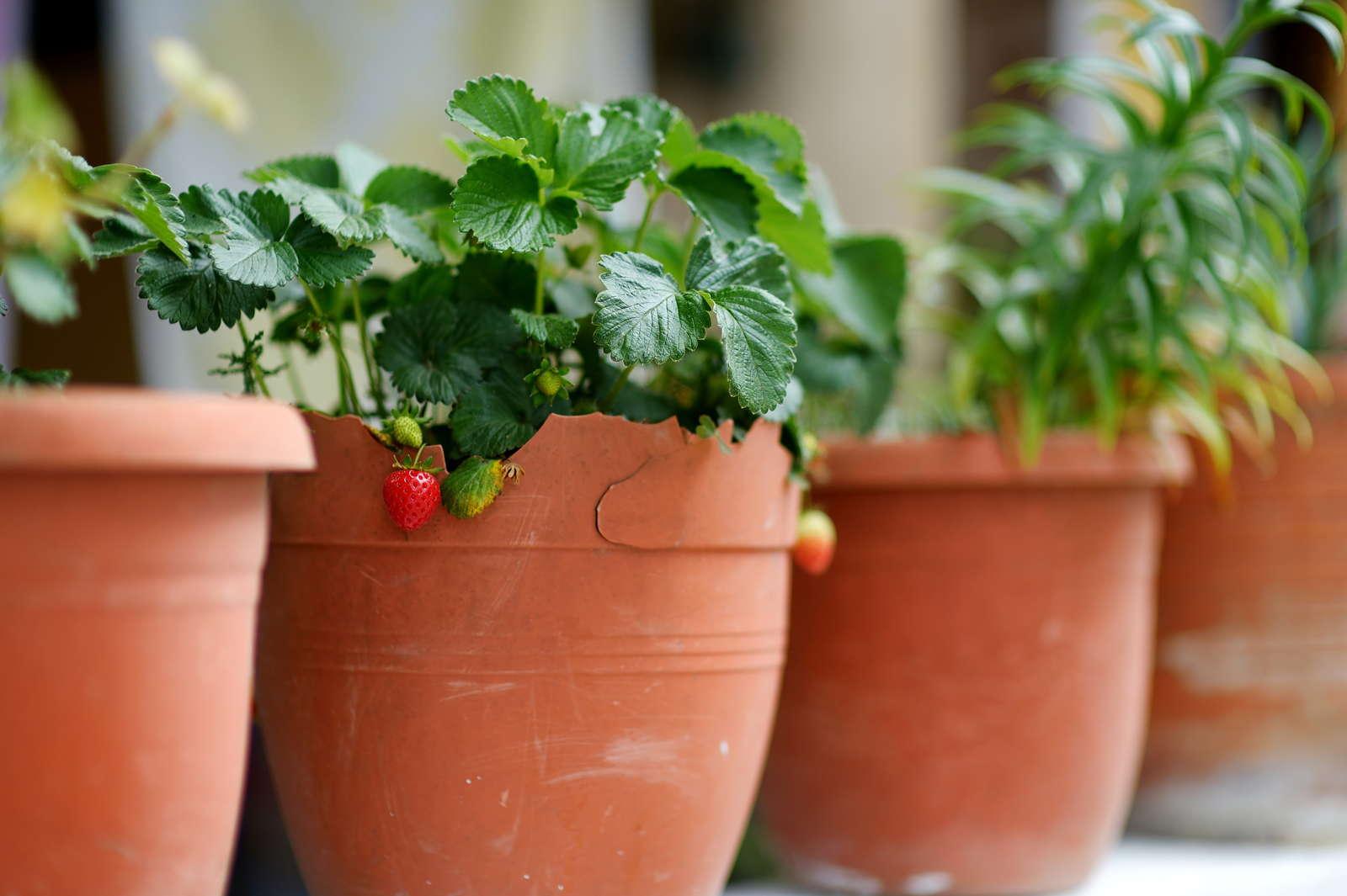 Erdbeeren pflegeleicht sonnenleibend Blumentopf