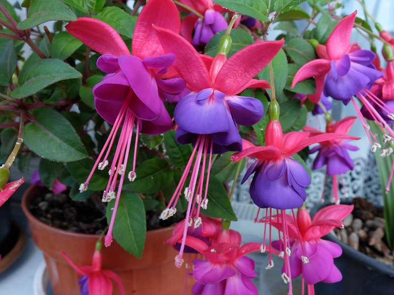 Fuchsie Blüten lila blau rot