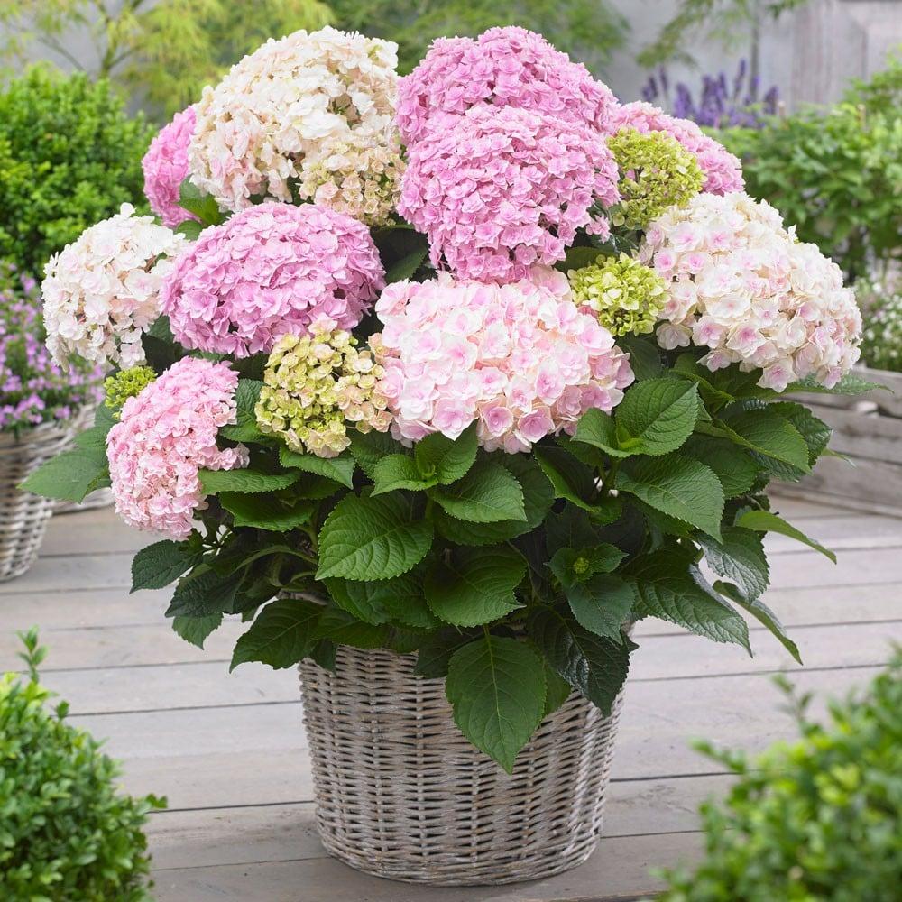 Hortensie Blumentopf herrlicher Look