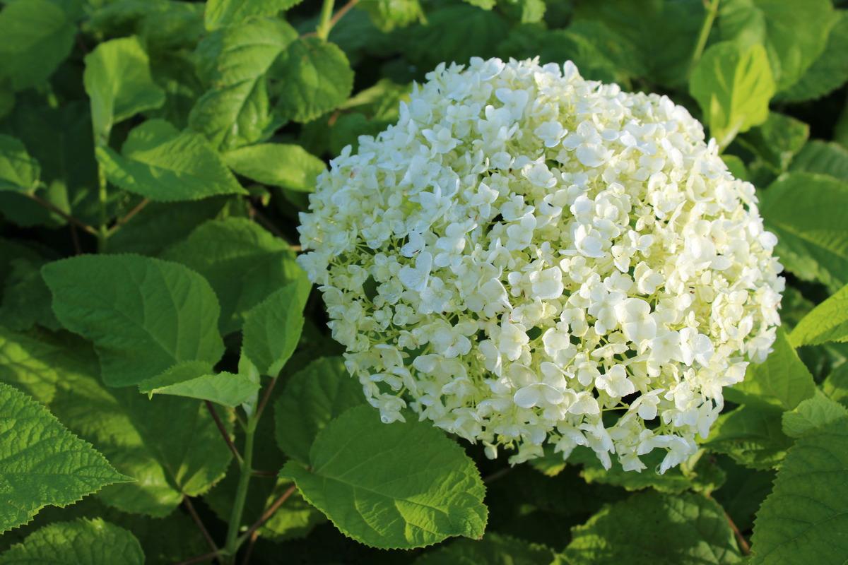 Balkonpflanzen Hortensie weiß