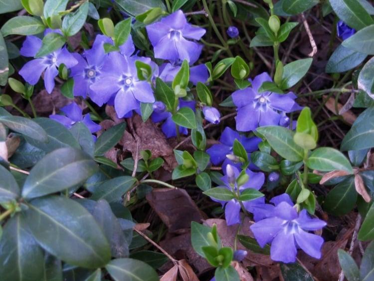 Immergrüne große blaue Blüten