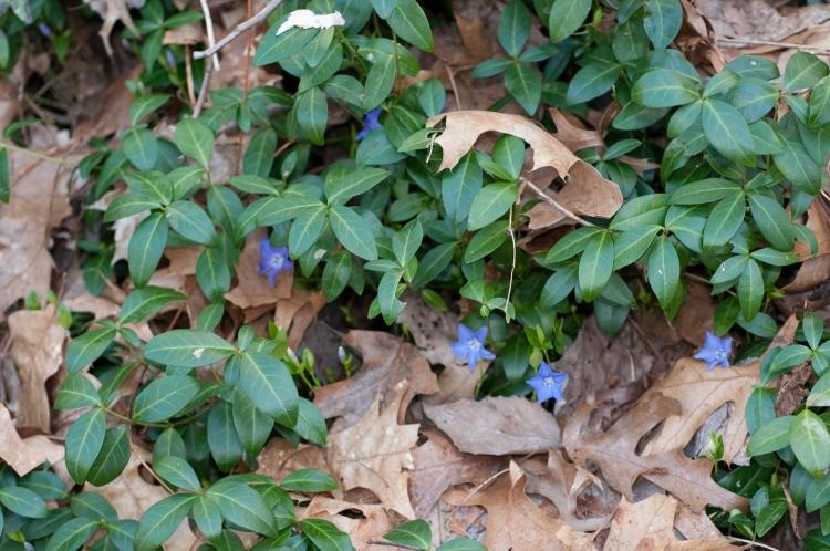 Bodendecker Schatten Immergrün pflanzen
