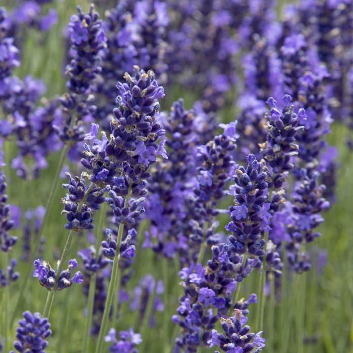 Balkonpflanzen Lavendel