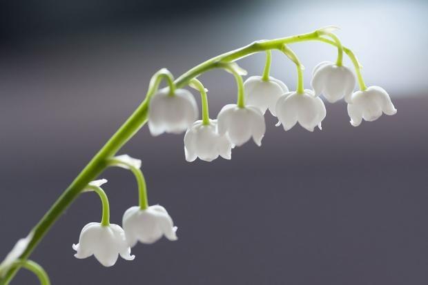 Maiglöckchen zarte Blüten