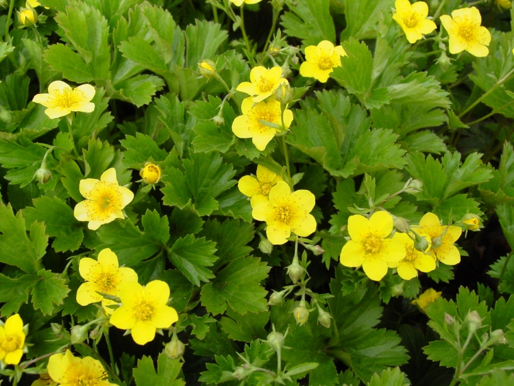 niedrige Goldbeere Blüten knalliges Gelb
