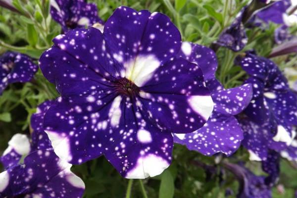 Petunie wunderschöne Blüten blau weiß