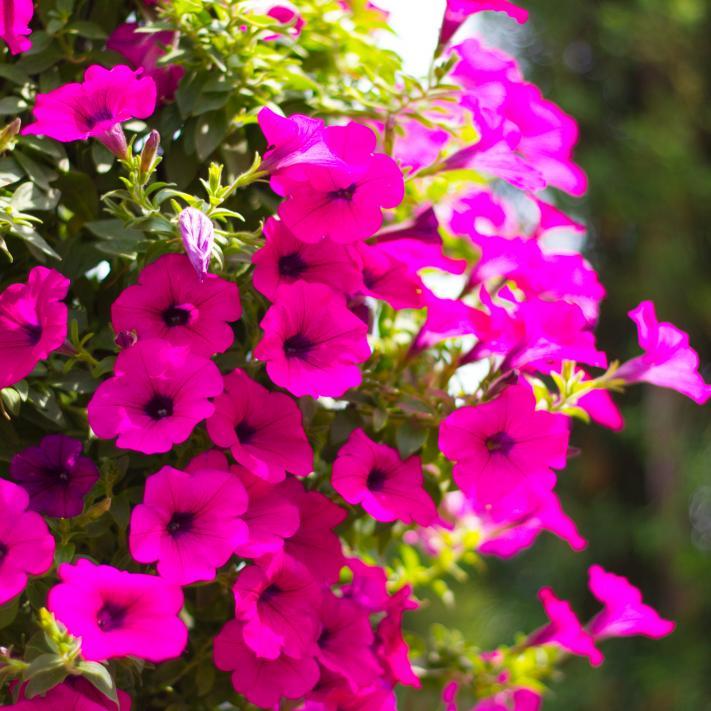 rosa Petunie Blumenpracht