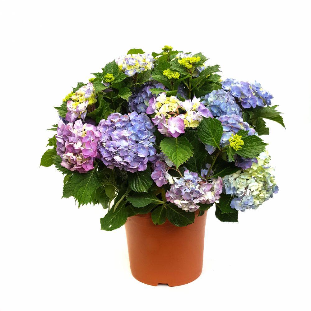 Hortensie Blumentopf prachtvolle Blüten