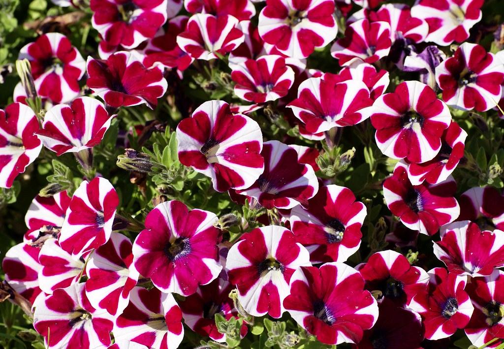 Petunien eindrucksvolle Blüten rosa weiß