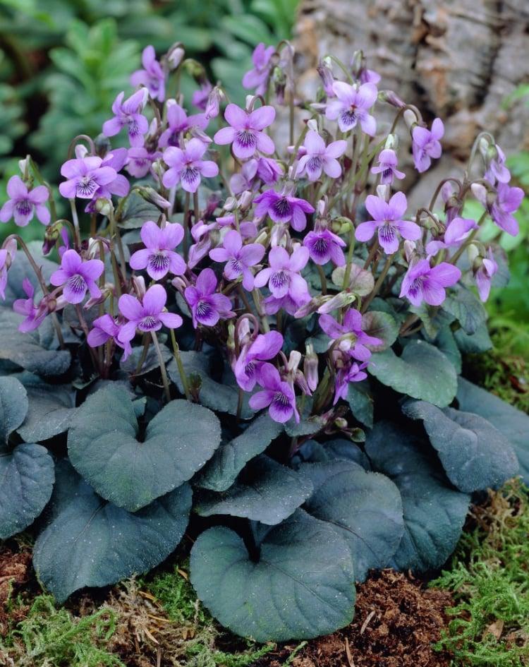 Bodendecker Schatten Veilchen aromatisch