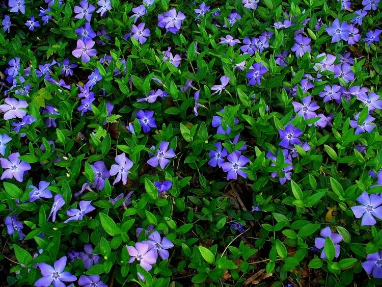Bodendecker Schatten Immergrün Vinca Minor
