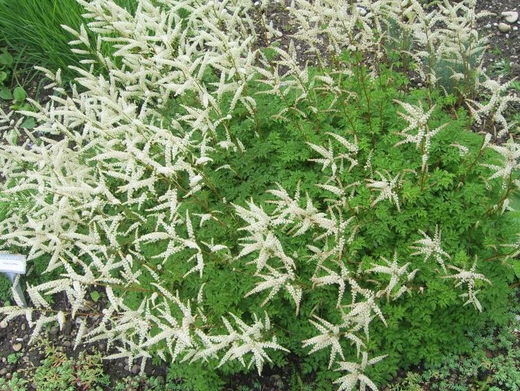 Zwerg Geißbart weiße Blüten