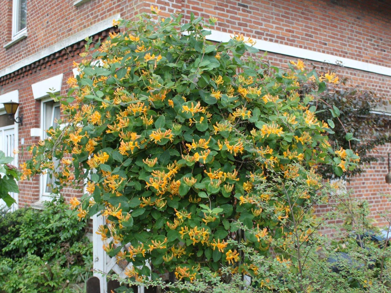 Fassadenbegrünung Geißblatt orange Blüten