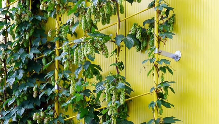grüne Fassade Pflanzen Kletterhilfe