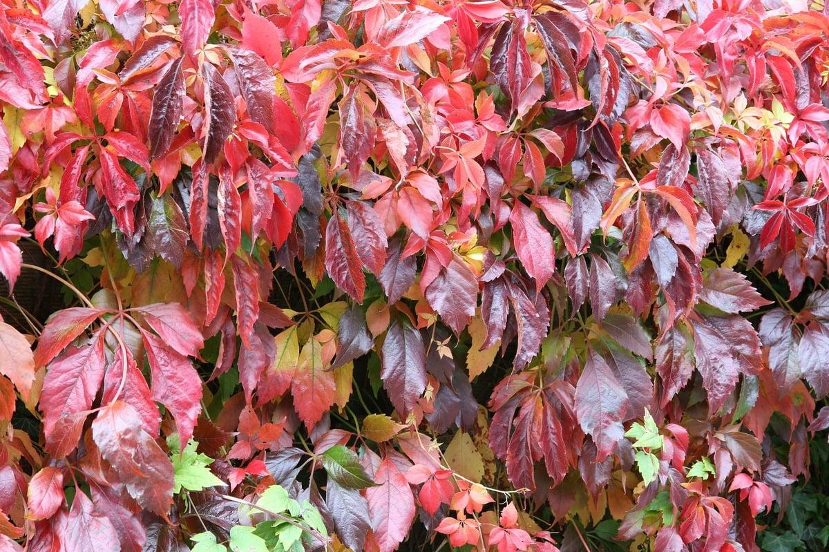 grüne Fassade wilder Wein rötliche Blätter
