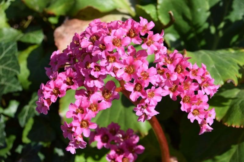 Bergenie Blüten klein zart
