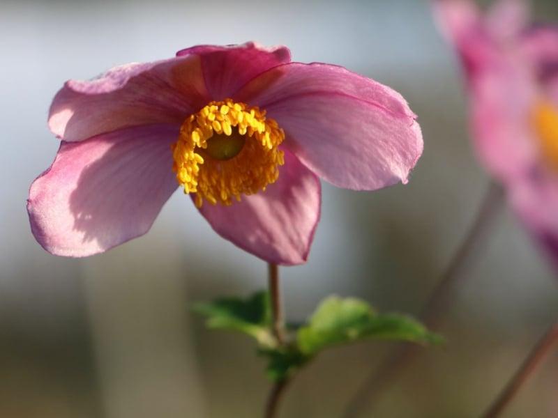 China Herbstanemone Blüten