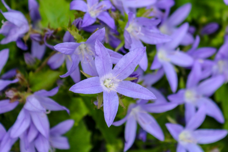 Hängepolster Glockenblume blaue Blüten