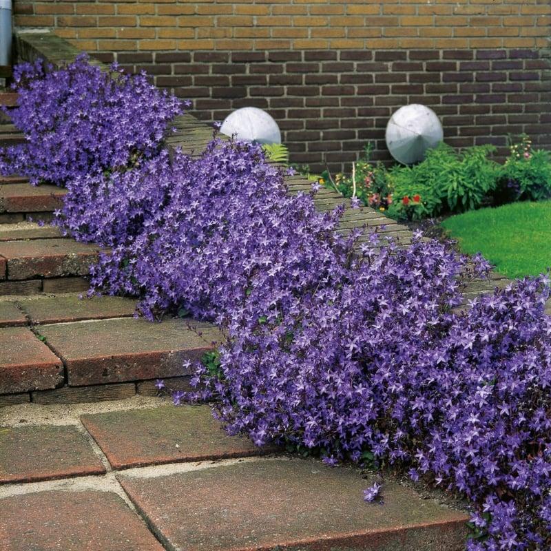 Hängepolster Glockenblume einpflanzen Gartenweg