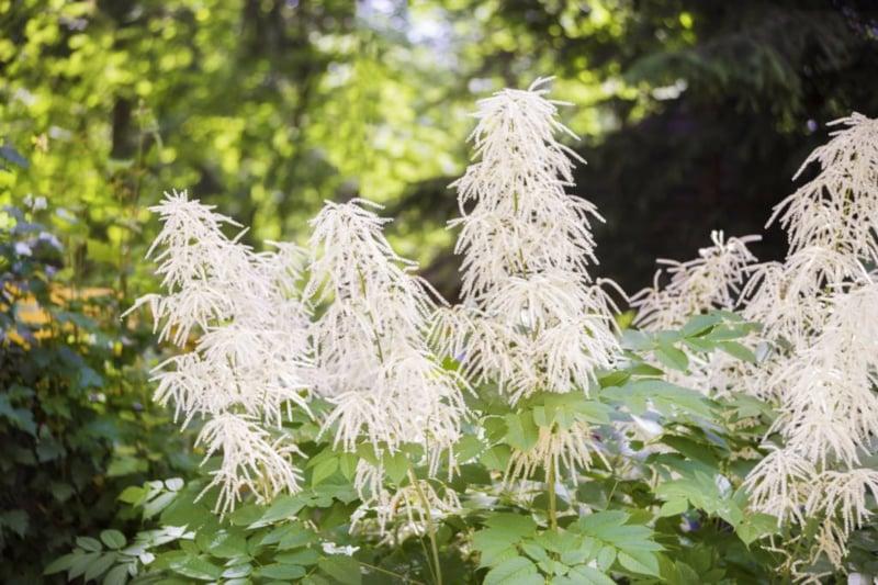 hoher Wald-Geißbart im Garten einpflanzen