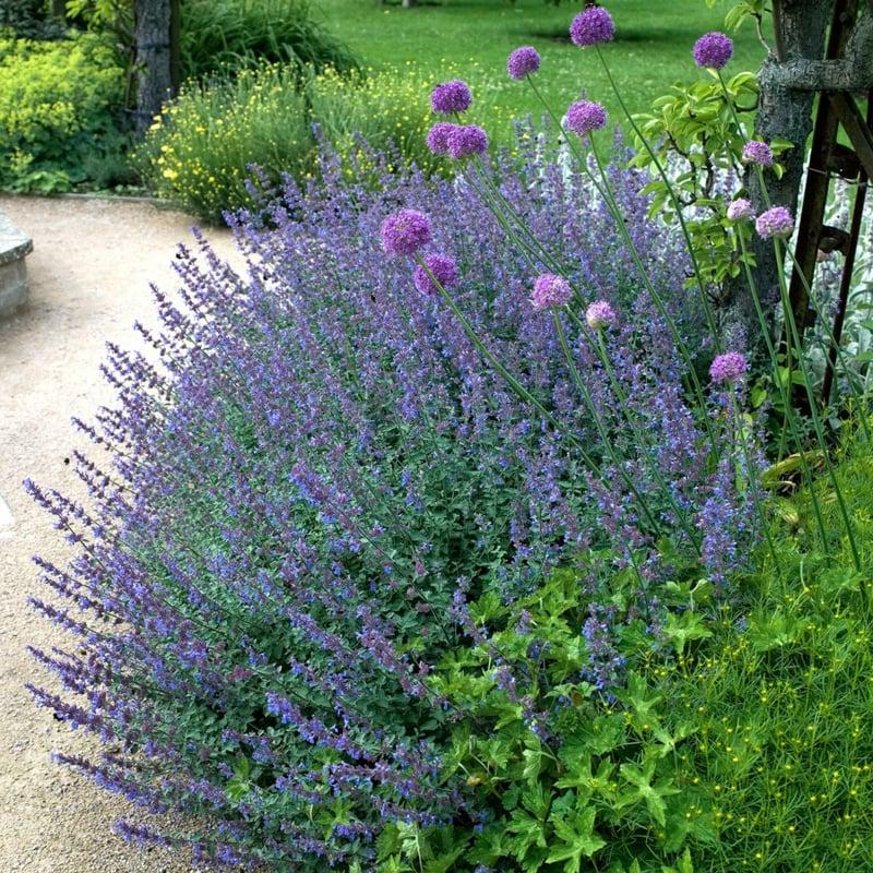 Katzenminze zarte blaue Blüten