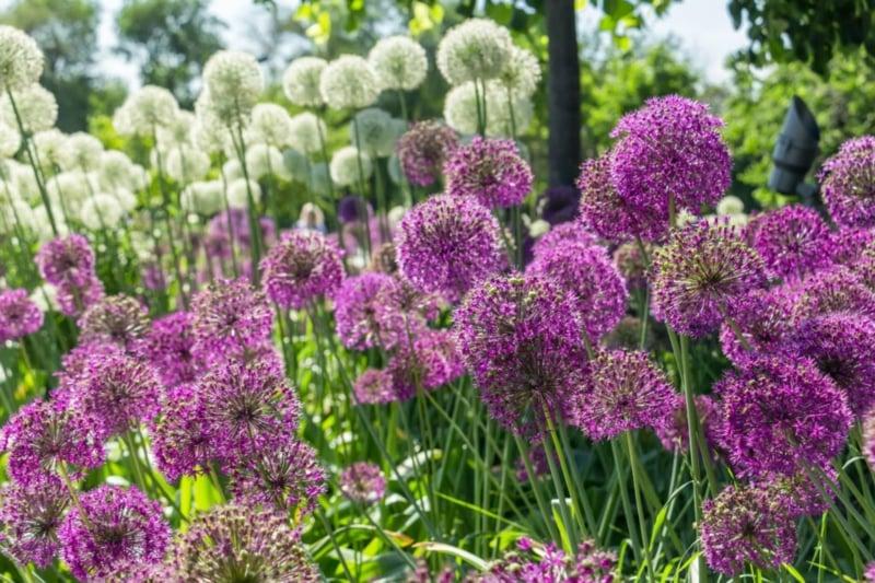 Riesenlauch einpflanzen pflegelicht