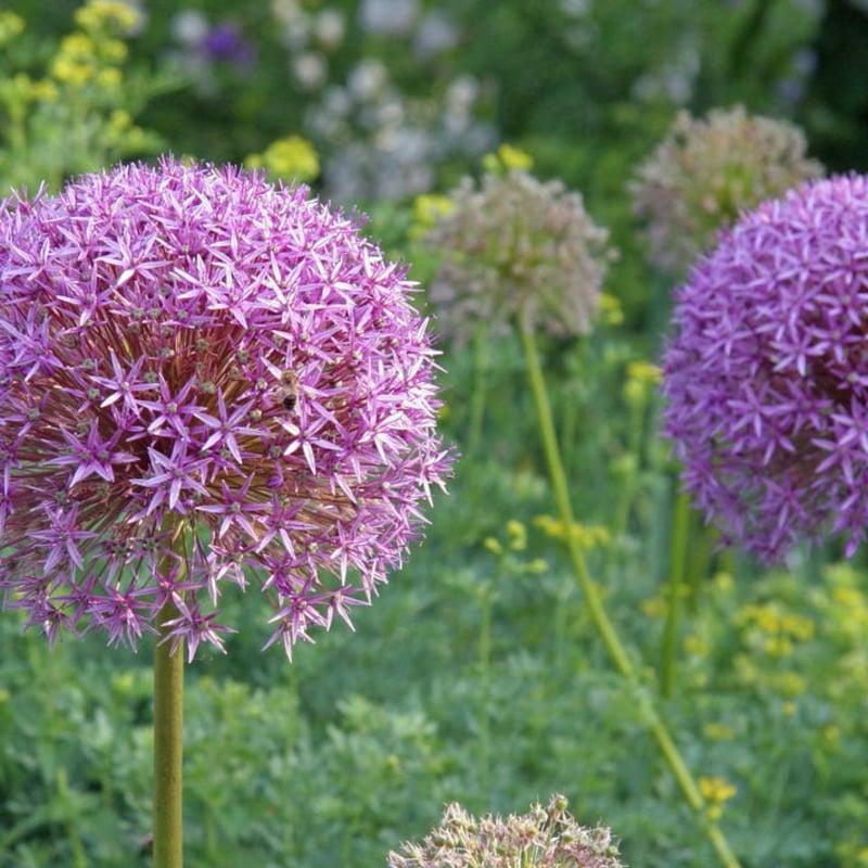 Riesenlauch sternförmige Blüten