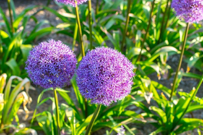 Riesenlauch zarte lila Blüten