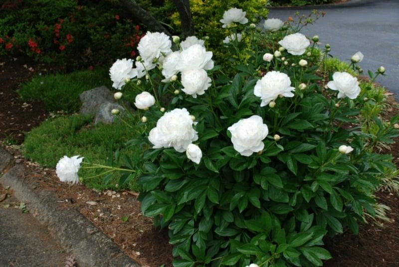 Stauden-Pfingstrose weiße Blüten