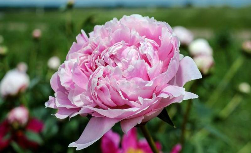 Päonien zarte rosa Blüten herrlicher Look