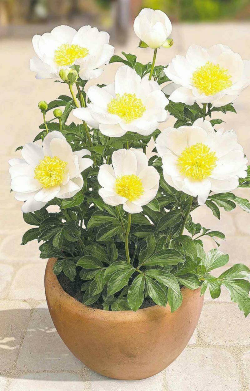 Päonien weiße Blüten Blumentopf