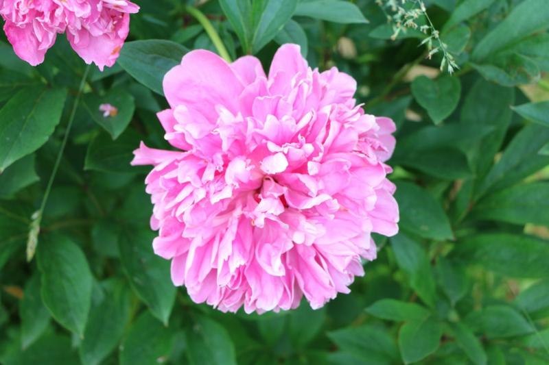 Päonien Blüte herrlicher Look