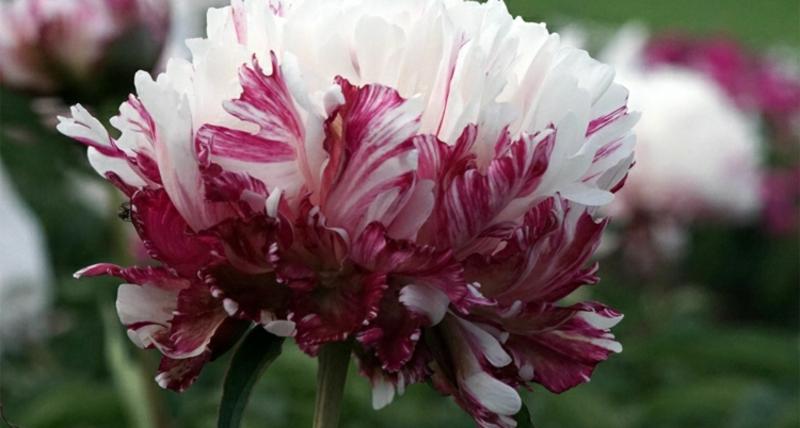 Päonien prachtvolle Blüten