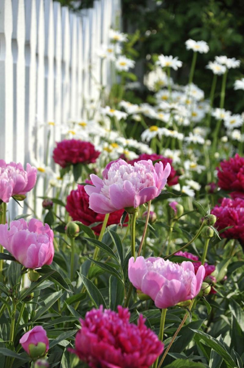 Päonien prachtvolle Blüten Garten