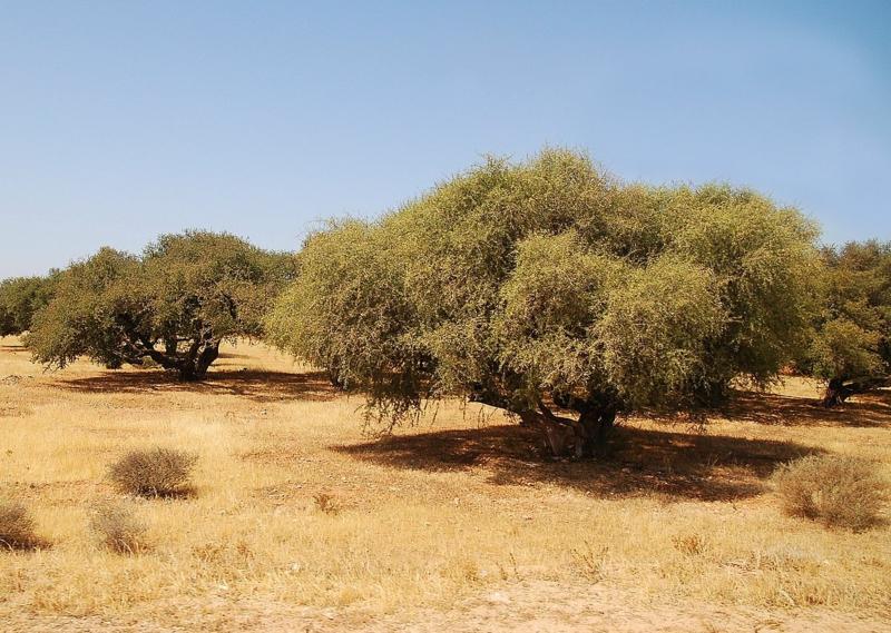 Argansbaum Marokko