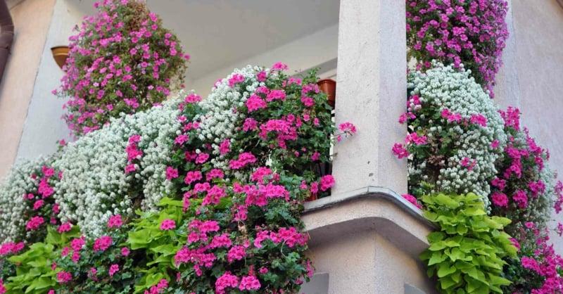 hängende Balkonpflanzen tolle Blumenarten