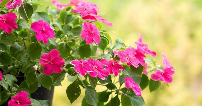 Fleißiges Lieschen rosa Blüten