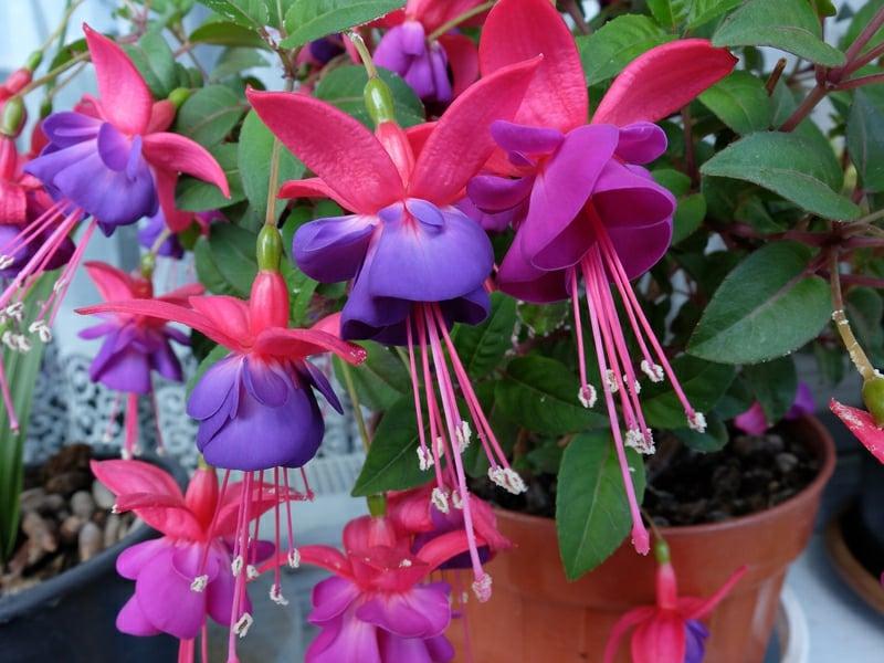hängende Balkonpflanzen Fuchsien rot und blau