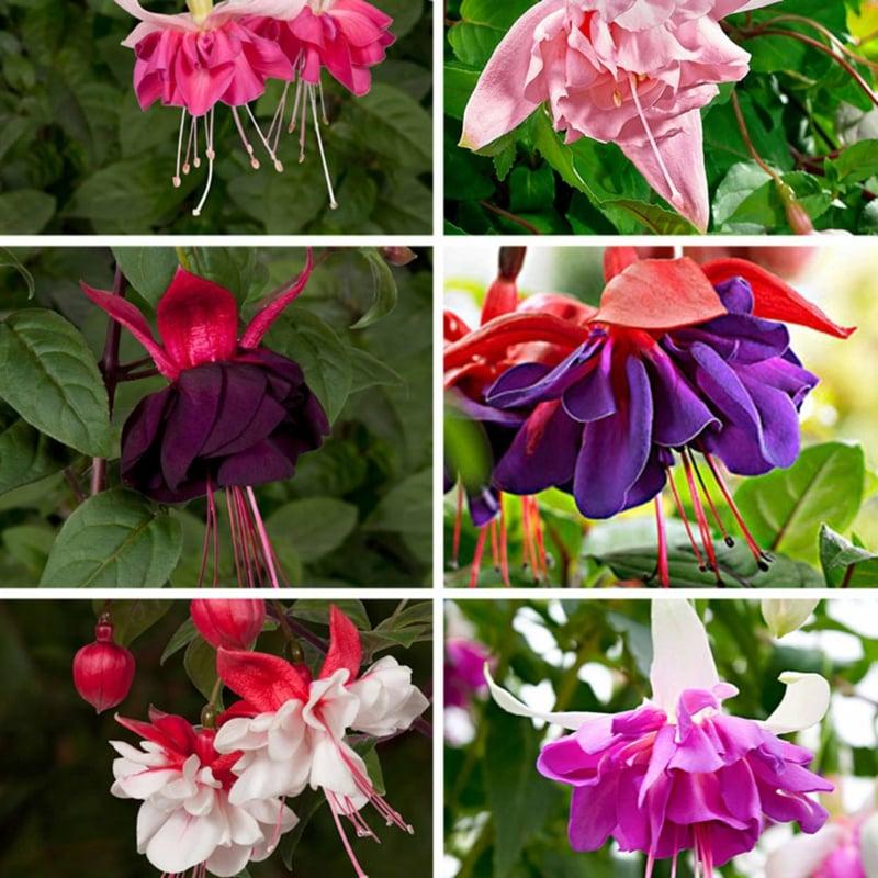 Fuchsien herrliche Blüten