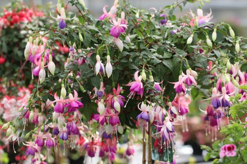 hängende Balkonpflanzen Fuchsien