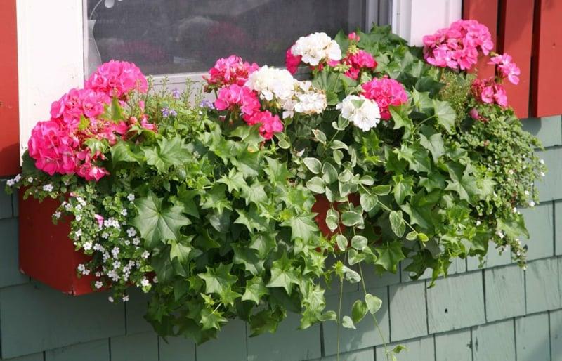 hängende Balkonpflanzen Geranien herrlicher Look